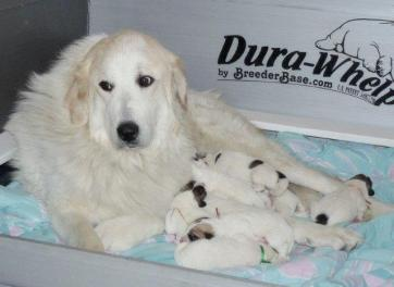 Bijou pups - Copy