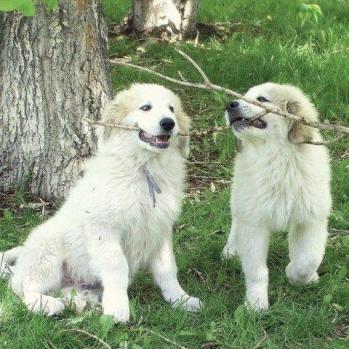 playing pups