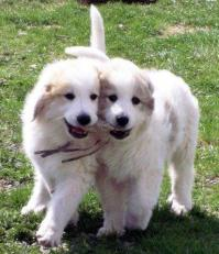 Pups with stick